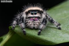 Portrait of my ever so elegant Regal jumping spider. Pet Spider, Jumping Spider, Bugs, Insects, Cute Animals, Portrait, Elegant, Pet Pictures, Animales