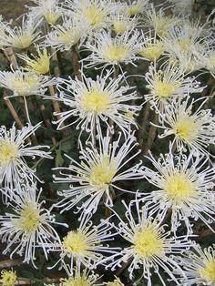 Chrysanthemum parthenium 'White Stars' (feverfew)