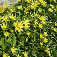 Yellow Stargrass - Hypoxis hirsuta Flowers Late April into June Habitat: Moist, rich soils Native perennial found in Central and Eastern NE. Trauma, Expecting Baby, Trees To Plant, Garden Plants, Habitats, Perennials, Nativity, Parenting, Activities