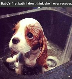 Those eyes. Cavalier king charles spaniel pup not loving bath time Little Puppies, Cute Puppies, Cute Dogs, Dogs And Puppies, Mini Puppies, Animals And Pets, Baby Animals, Funny Animals, Cute Animals