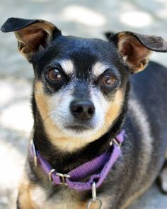 5 / 11 ***SENIOR*** Petango.com – Meet Boo, a 8 years Terrier / Mix available for adoption in LYNNWOOD, WA Address 15305 44th Avenue W, LYNNWOOD, WA, 98087 Phone (425) 787-2500 Website http://www.paws.org Email info@paws.org