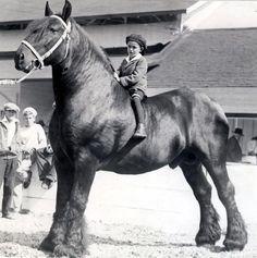 Любовь Лошадей, Черные Лошади, Красивые Лошади, Лошади Першерон, Лошади Для Состязаний На Короткие Дистанции, Улыбающиеся Собаки, Шиншиллы, Фотографии Лошадей, Лошадь Скульптура