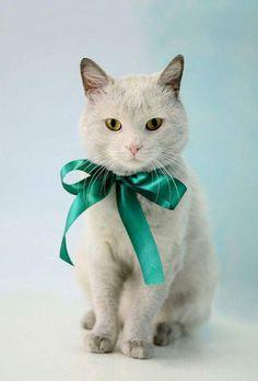 Teal | silk ribbon bow | white greyish cat