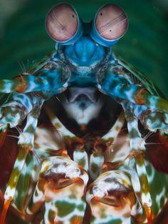 Mantis Shrimp Portrait by Jean Wimmerlin - Photo 54339194 - 500px