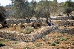 """BETHLEHEM, ISRAEL: Rural areas to the east of the city are traditionally believed to be the area of the fields of the shepherds """"keeping watch o'er their flocks by night."""" Even today local shepherds can be seen tending their flocks in this same area. Israel Palestine, Jerusalem Israel, Bethlehem Israel, Places Around The World, Around The Worlds, Israel History, Jewish History, Israel Travel, Israel Trip"""