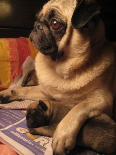 Mama and baby pug cuddles