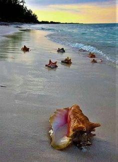 Conch shells on a beautiful beach Ocean Scenes, Beach Scenes, Sea And Ocean, Ocean Beach, Playa Beach, Beach Pictures, Nature Pictures, I Love The Beach, Shell Beach