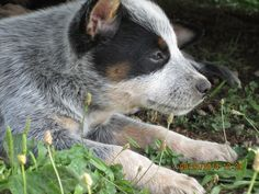 Determination!! pass it on>>>> a cattle dogs rule puppy.