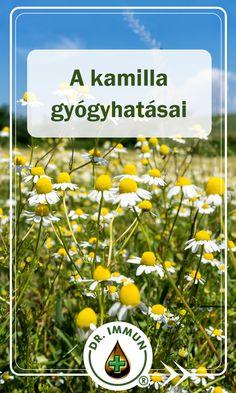 A kamilla, melyet más európai országokban magyar kamillának is neveznek az egyik legértékesebb gyógynövény, melynek teáját évszázadok óta előszeretettel alkalmazzák különböző megbetegedések esetén. Ismerje meg Ön is, milyen egészségügyi problémák esetén célszerű fogyasztani, és hogyan készítsük el teáját!
