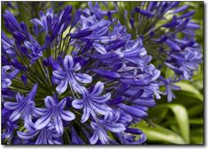 Agapanthus Lily of the Nile, Deep Blue Lily of the Nile, White Lilies -- site is great for clicking on the name and seeing what the flower looks like. White Lilies, Day Lilies, Zone 8 Plants, Easy To Grow Bulbs, Outdoor Flowers, Agapanthus, Lavender Roses, Bulb Flowers, Different Flowers