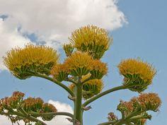 """Agave americana (Агаве американа) е еден од најголемите и највеличествените видови на Agave. Овој популарен и широко распространет сукулент достигнува височина до 1,8 м и до 4 метри во широчина. Листовите може да достигнат до 2 м должина. Потекнува од Мексико и се одгледува низ цел свет како украсно растение. Познат е како Американско Алое или Вековно растение, но """"вековно"""" е малку претерано, бидејќи за да процвета, најчесто е потребно да поминат од 10 до 30 години. По цветањето умира, но во…"""