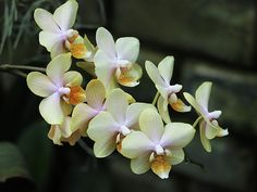 Orchidée Beige Phalaenopsis Orchid  Photographie /  Photograph by C.Stefan (ArtStudio29) #orchid #flower #prints #reproductions #decor #closeup #artstudio29 #macro #exotic #tropical #beauty