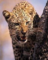 The elusive Leopard is rather difficult to find on safaris as it hides well in the tall grass and on trees.  http://www.south-african-hotels.com  http://www.south-african-lodges.com