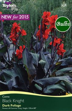 Black Knight Canna Bulb - £1.99   Garden4Less UK Shop