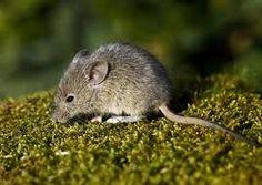 myš domácí - nejvýznamnější druh myši, domácí škůdce