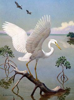 Great White Heron  Walter Weber/1949