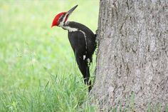 Pileated woodpecker - these are large birds.  Dwayne has seen one twice in the last couple of weeks, near the river by our home.  The only time I ever saw one I was at my uncles house in southern Ohio about 20 years ago.