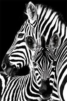 Zebra & Foal - Black and White Beauty