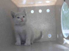 This CAT - ID#A4950717 Male, flame point and white Domestic Shorthair about 9 weeks old. I have been at the shelter since May 18, 2016 Los Angeles County Animal Control - Carson at (310) 523-9566**See ALL The SIAMESE Cats NEEDING Forever Homes in CALIFORNIA**  https://www.facebook.com/146193458859735/photos/a.152306511581763.52793.146193458859735/878410292304711/?type=3&theater