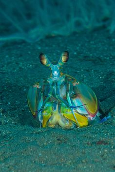 Mantis Shrimp