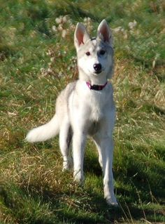 Best Seven Dogs That Look Like Wolves - Have huskies and malamutes. Look like wolves and they're jerks but at least I can trust them :) Would love to have a Tamaskan dog sometime. Dog Breeds List, Best Dog Breeds, Best Guard Dogs, Best Dogs, Protective Dog Breeds, Tamaskan Dog, Animals And Pets, Cute Animals, Saarloos