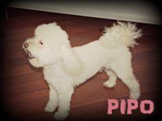 Éste es Pipo, un #caniche que quiso hacerse un cambio de look.  Así quedó después de su sesión de pelu, aunque lo de posar quieto no era lo suyo!! #mascotas #peluqueriacanina #granada #perros