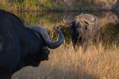 Buffalo stand off