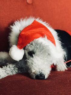 Jurnee the Bedlington Terrier