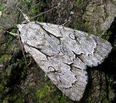The Moths of Suffolk - 2284 Grey Dagger, Acronicta psi, (Linnaeus, Linnaeus, Mothman, Tapestries, Butterflies, Insects, Brother, British, Bear, Grey