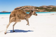 Australian wildlife tours gets you up close with some of the countries most iconic creatures. Experience wildlife in its natural habitat on your next trip. Kangaroo Jumps, Red Kangaroo, Australia Tourism, South Australia, Life Magazine, Australian Beach, Australian Animals, Kangaroo Island, Galapagos Islands