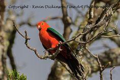 King Parrot Kevin Dickinson fine art photography, canon photography, buy wildlife photograph, buy wildlife art