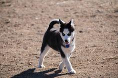 Newton - Siberian husky