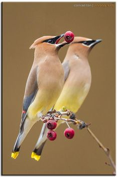 "(Cedar Waxwings) * * BIRD: "" Couple berries a day, keeps hungers away. Ands BTW, weez don't wax our wings."""
