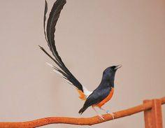 Beautiful bird... Atikel seputar hobby yang membahas tentang ciri-ciri dan gambar/foto burung Murai Batu Medan yang mempesona.