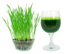Wheat grass is the young green shoots of the wheat plant. Like sprouts, this young growth creates a most nutrient-dense source of vitamins, minerals, and chlorophyll. What's more is that wheat grass can be grown and juiced in the home kitchen. Growing wheat grass at home can be done in large or small quantities, depending on the number of servings desired and whether or not you wish to make larger batches and store shots of wheat grass in the refrigerator or freezer.