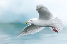 Larus glaucoides - mewa polarna - Iceland Gull