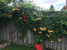 Beautiful trumpet vine in bloom waiting for the humming birds