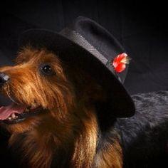 Arista Australian Terriers Australian Terrier Puppies, Norfolk Terrier Puppies, Terrier Rescue, Terriers, Terrier