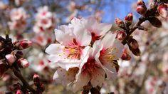 Kuvahaun tulos haulle mantelipuunkukka