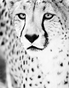Cheetah Monochrome Art Photo - Black and White  Fine Art Animal Photography Print 11x14. via Etsy.