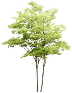 Populus nigra Tree Watercolor painting Landscape architecture - Trees pattern png is about is about Plant, Leaf, Shrub, Houseplant, Tree. Photoshop Png, Tree Photoshop, Photoshop Rendering, Architecture Graphics, Landscape Architecture, Landscape Elements, Landscape Design, Tree Psd, Tree Watercolor Painting