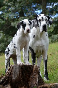 11 week old Jane and 4 year old Chaos, hanging out on Puppy Hill at the Service Dog Project. Giant Dogs, Big Dogs, Cute Dogs, Dane Puppies, Puppies And Kitties, Beagle Mix, Weimaraner, Merle Great Danes, Great Dane Puppy