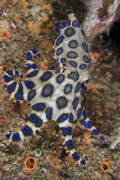 sealife tattoo sea creatures blue-ringed octopus by Tahneelynn, Id like to be under the sea in an octopus garden. Weird Sea Creatures, Beautiful Sea Creatures, Animals Beautiful, Underwater Creatures, Underwater Life, Octopus Pictures, Octopus Art, Octopus Ring, Life Under The Sea