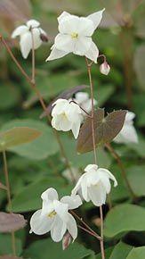 Epimedium x youngianum 'Niveum'  - Elfenblume