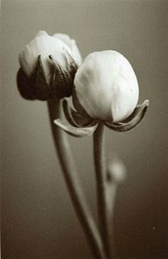 double ranunculus • jo crowther