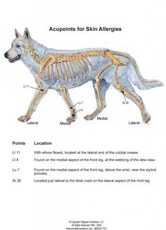 Canine Skin Allergies and the Acupressure Points That Help Them!
