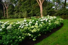 I planted 3 rows of annabelles and 2 rows of Lime lights in this garden this spring-so the hydrangea bloom time will be long.  5 rows of hydrangeas is an embarrassment of riches in hydrangeas.  The Annabelles, to the left, gracefully drooping over a rustic boulder wall, start blooming in June. The taller and more vertical growing back stop of Lime light hydrangeas begin to bloom in late July. All of that white will read well from a distance.