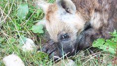 Jonge hyena