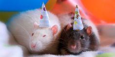 день крысы: 19 тыс изображений найдено в Яндекс.Картинках