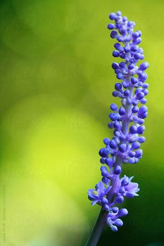 Extreme close-up of purple big blue lilyturf (Liriope muscari) spike flowering in sunny garden by Laura Stolfi